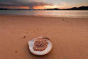 Newly harvested cultured Golden South Sea pearls of Oyster (Pinctada maxima) displayed in oyster shell on beach, Palawan, Philippines, May 2009 - Jurgen Freund