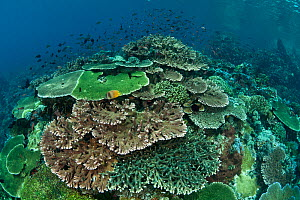 Healthy coral reef with tiers of plate corals and full of Damselfish and Fairy basslets, Komodo NP, Indonesia. - Jurgen Freund