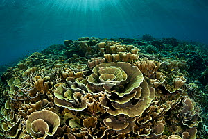 Healthy coral reef with cabbage corals and hard corals, Komodo NP, Indonesia. - Jurgen Freund