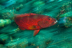 Lunar tailed rock cod / Coronation grouper (Variola louti) swimming fast over coral reef, Bali, Indonesia  -  Jurgen Freund