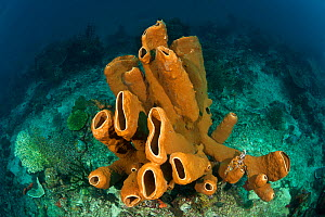 Brown tube sponge (Agelas tubulata) in the reef, North Sulawesi, Indonesia.  -  Jurgen Freund