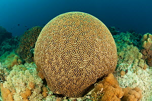 Large round Brain coral (Platygyra lamellina) on coral reef, North Sulawesi, Indonesia.  -  Jurgen Freund