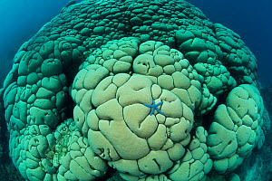 Blue sea star on massive Boulder coral (Gardineroseris planulata) North Sulawesi, Indonesia. This coral species is normally found from the Red Sea to Central America, and is relatively uncommon in the... - Jurgen Freund