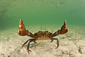 RF- Mudcrab (Scylla serrata) raising claws, Sulawesi, Indonesia (This image may be licensed either as rights managed or royalty free.)  -  Jurgen Freund