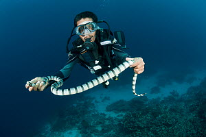 Diver holding Banded sea krait (Laticauda colubrina) South Sulawesi, Indonesia.  -  Jurgen Freund