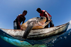 Moluccan fishermen in their dugout canoe hunt an Olive ridley sea turtle (Lepidochelys olivacea) with their spear,  Moluccas Islands, Indonesia, November 2009. - Jurgen Freund