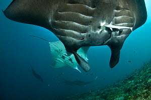 Manta rays (Manta birostris) at cleaning station being cleaned by wrasses, Moluccas Islands, Indonesia. - Jurgen Freund