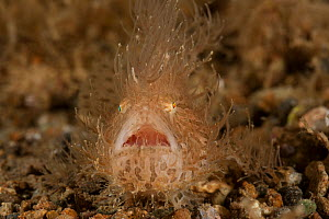 Striated / hairy frogfish (Antennarius striatus) camouflaged on seabed, Batangas, Philippines. - Jurgen Freund