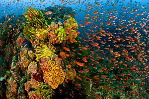Thousands of Anthias / Fairy basslets on colourful coral reef, Anilao, Batangas, Philippines, March 2010. - Jurgen Freund