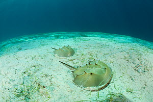 Pacific horsehoe crabs (Tachypleus gigas) on sandy seabed, Palawan, Philippines. - Jurgen Freund