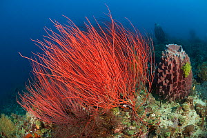 Red whip corals / sea whips (Ellisella sp) West New Britain, Papua New Guinea.  -  Jurgen Freund