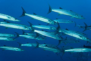 Schooling Blackfin barracuda (Sphyraena qenie) West New Britain, Papua New Guinea  -  Jurgen Freund