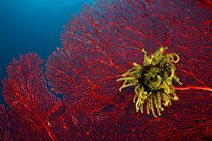 Gorgonian fan coral with Featherstar / crinoid attached, West New Britain, Papua New Guinea. - Jurgen Freund
