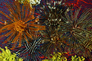 Featherstars / crinoids attached to Gorgonian coral, West New Britain, Papua New Guinea. - Jurgen Freund