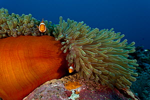 True clownfish / Clown anemonefish (Amphiprion percula) amongst tentacles of anemone on reef, West New Britain, Papua New Guinea. - Jurgen Freund