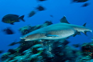 Whitetip reef shark (Triaenodon obesus) at reef, West New Britain, Papua New Guinea.  -  Jurgen Freund