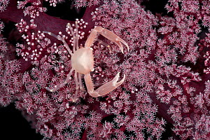 Tiny reef crab on soft coral, West New Britain, Papua New Guinea. - Jurgen Freund
