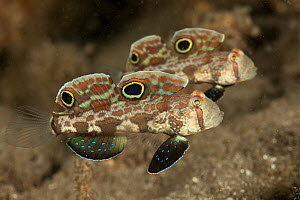 Two Twinspot / Crabeye gobies (Signigobius biocellatus) West New Britain, Papua New Guinea.  -  Jurgen Freund