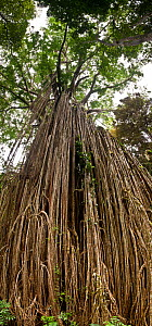 Tendrils and roots of The Curtain fig tree (Ficus virens) in  Atherton tablelands, Queensland, Australia, composite panoramic image - Jurgen Freund