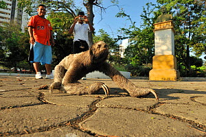 People taking photographs of a Brown-throated Three-toed Sloth (Bradypus variegatus) in Parque Centena�rio, downtown Cartagena de Indias city, Magdalena Department, Colombia, February 2011.  -  Luiz Claudio Marigo