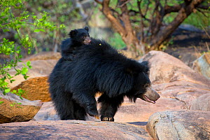 Sloth Bear (Melursus ursinus) mother with cub riding on her back. Karnataka, India, April.  -  Axel Gomille