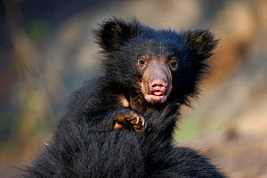 Sloth Bear (Melursus ursinus) cub riding on its mother's back. Karnataka, India, April.  -  Axel Gomille