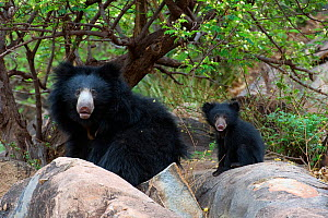 Sloth Bear (Melursus ursinus), mother with cub peering at the photographer. Karnataka, India, April.  -  Axel Gomille