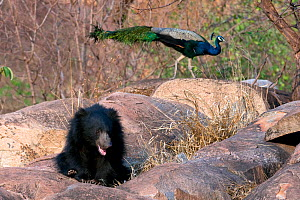 Young Sloth Bear (Melursus ursinus) sitting among rocks with a Peacock (Pavo cristatus) in the background. Karnataka, India, March.  -  Axel Gomille