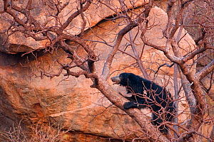 Sloth Bear (Melursus ursinus) climbing on tree. Karnataka, India, March. - Axel Gomille