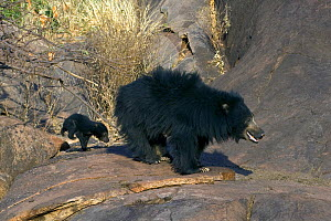 Sloth Bear (Melursus ursinus) mother with young cub. Karnataka, India, March.  -  Axel Gomille