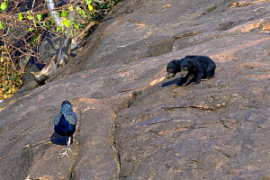 Two Sloth Bear (Melursus ursinus) cubs watching a Peacock (Pavo cristatus). Karnataka, India, March.  -  Axel Gomille