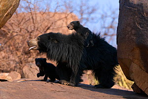 Sloth Bear (Melursus ursinus) mother and cubs with one riding on her back. Karnataka, India, March.  -  Axel Gomille