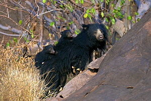 Sloth Bear (Melursus ursinus) mother with two cubs riding on her back. Karnataka, India, March.  -  Axel Gomille
