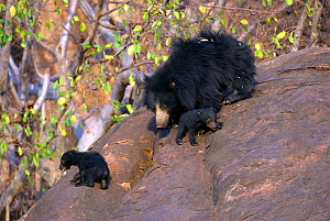 Sloth Bear (Melursus ursinus) mother with cubs. Karnataka, India, March.  -  Axel Gomille