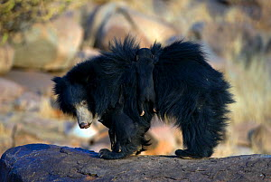 Sloth Bears (Melursus ursinus) mother with cub clinging to her fur. Karnataka, India, March.  -  Axel Gomille