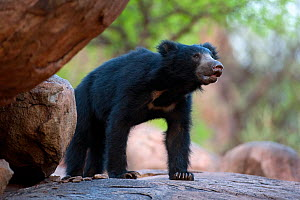 Portrait of a young male Sloth Bear (Melursus ursinus). Karnataka, India, April.  -  Axel Gomille