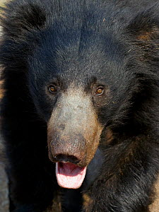 Portrait of a young adult male Sloth Bear (Melursus ursinus). Karnataka, India, March. - Axel Gomille