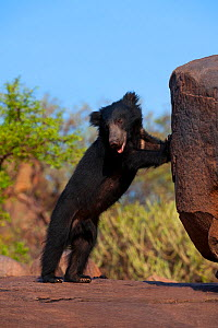 Portrait of a young adult male Sloth Bear (Melursus ursinus) standing on hind legs by a rock. Karnataka, India, March.  -  Axel Gomille