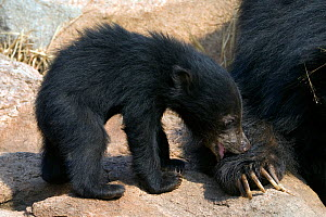 Sloth Bear (Melursus ursinus) cub playing with with mother's paw. Karnataka, India, March.  -  Axel Gomille