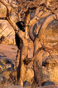 Sloth Bear (Melursus ursinus) climbing a gnarled tree. Karnataka, India, March. - Axel Gomille