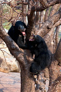 Sloth Bears (Melursus ursinus), adult female (above) and sub-adult male (below) fighting on a tree. Karnataka, India, March.  -  Axel Gomille