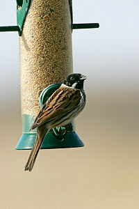 Common Reed Bunting (Emberiza schoeniclus) male in winter plumage at feeder. Hampshire, UK, March. - Mike Read