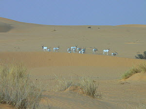 A herd of Addax (Addax nasomaculatus) among sand dunes. Groups as large as this are very rarely seen. Termit Massif, Niger, Africa.  -  Thomas Rabeil