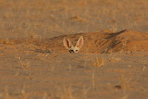 Fennec Fox (Fennecus / Vulpes zerda) looking out from its burrow. Dilia Achetinamou Niger, Africa.  -  Thomas Rabeil
