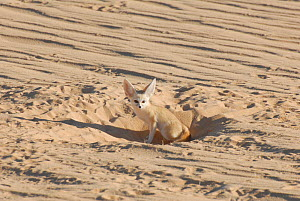 Fennec Fox (Fennecus / Vulpes zerda) sitting in the entrance to its burrow. Dilia Achetinamou Niger, Africa.  -  Thomas Rabeil