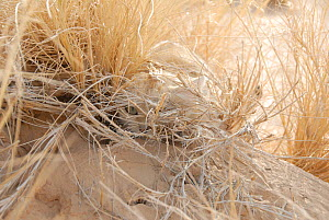 Face of a Sand Cat (Felis margarita) camouflaged in dry desert grass. Critically endangered species. Tin Toumma, Niger, Africa.  -  Thomas Rabeil