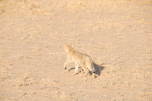 Wild Cat (Felis sylvestris libyca) walking over sand and dry grass. Tin Toumma, Niger, Africa.  -  Thomas Rabeil