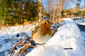 Portrait of a European Robin (Erithacus rubecula) in snow. Edinburgh, UK, December. - Mark Bowler