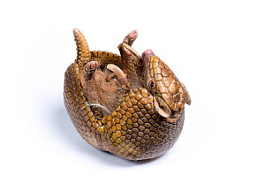 Three-banded Armadillo (Tolypeutes tricinctus) about to roll-up, against a white background. Captive. Endemic to Brazil.  -  Mark Bowler