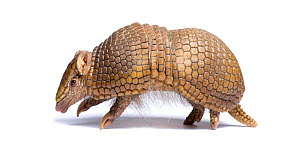 Three-banded armadillo (Tolypeutes tricinctus) walking in profile. Captive. Endemic to Brazil. 6 of 6.  -  Mark Bowler